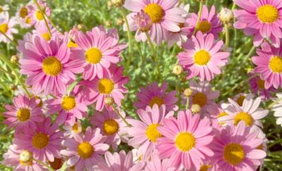 ジョチュウギク(除虫菊)の写真